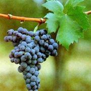 coltivazione uva