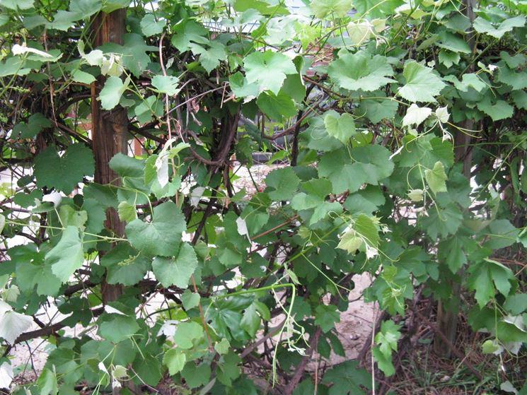 Potatura uva fragola enologia - Potatura uva da tavola ...