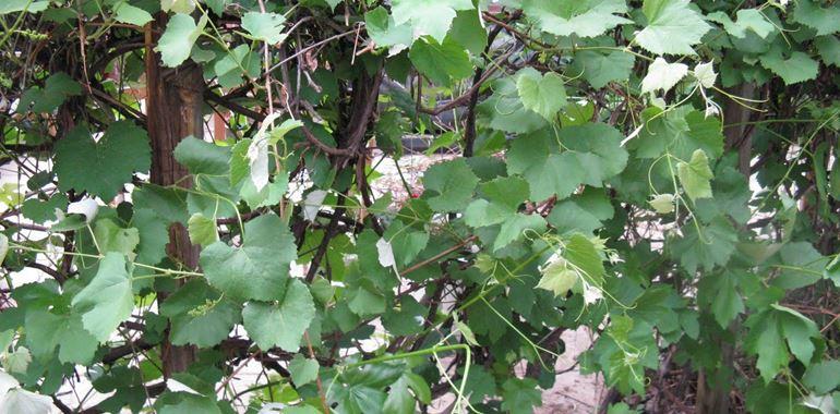 <h6>potatura uva fragola</h6>L�uva fragola � una particolare variet� di uva da tavola e da vino estremamente dolce e zuccherina. La sua origine non � europea, infatti deriva dalla specie Vitis Labrusca, originario dell�America settentrionale. Essa � stata la prima vite d�oltreoceano ad essere introdotta in Europa e se ne hanno le prime notizie in Francia intorno agli anni venti dell�ottocento.