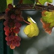 uva fragola bianca