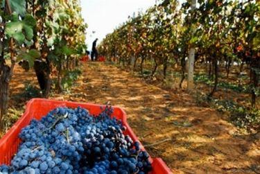 prezzo uva da vino