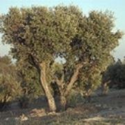 olivo albero