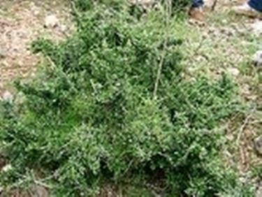 olivo albero2