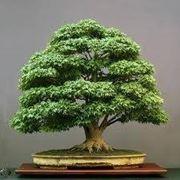 bonsai olivo prezzi