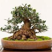 bonsai ulivo