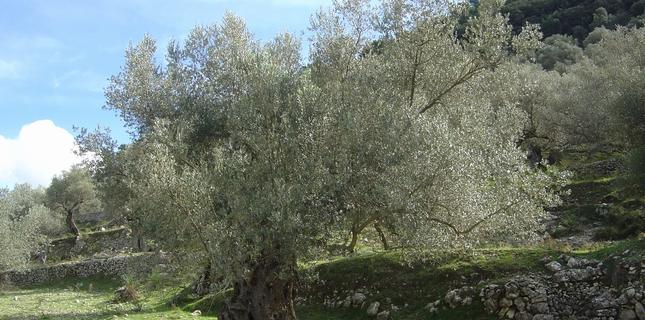 <h6>Olivo Carolea</h6>La cultivar Carolea � un ulivo molto importante in Calabria e in Basilicata sfruttata sa per la produzione di olive fresche da tavola che per quella di olio.