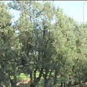 olivo cipressino