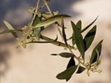 olivo coltivazione2