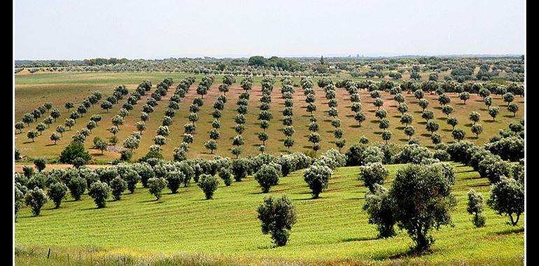 olivo coltivazione