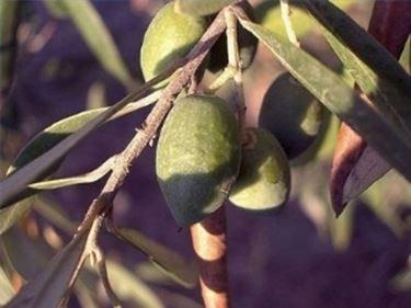 olivo concimazione2