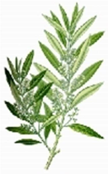 olivo foglie2