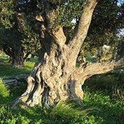 olivo varietà frantoio