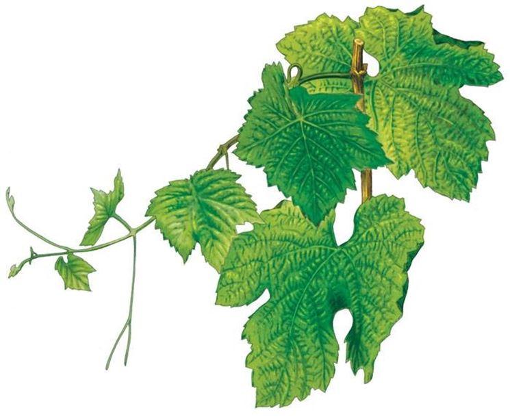 foglie uva