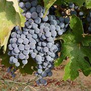 grappolo d uva
