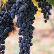 grappoli d uva senza chicchi