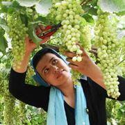 vendita uva