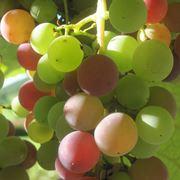 uva fragola proprietà