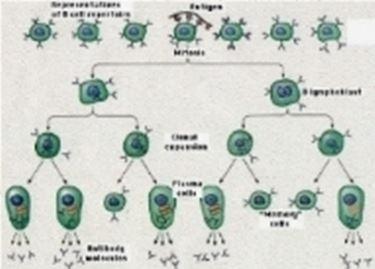 selezione clonale 2