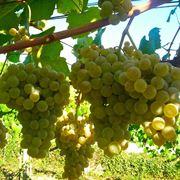 uva per lo champagne