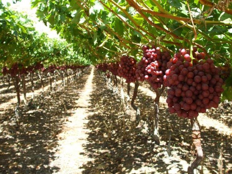 Uva da tavola uva uva da tavola - Uva da tavola coltivazione ...