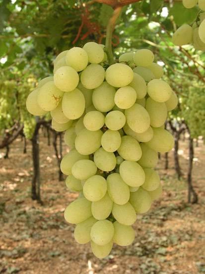 Uva vittoria uva - Uva da tavola italia ...
