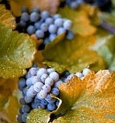 varieta uva2