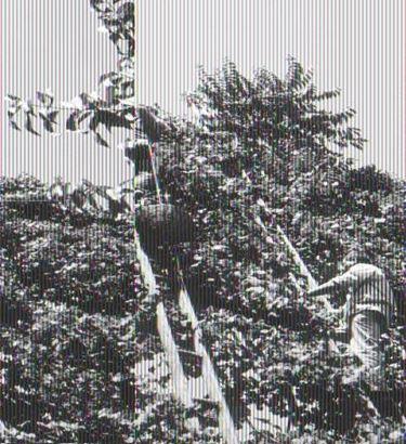 grappoli sugli alberi