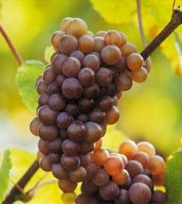 Il vitigno