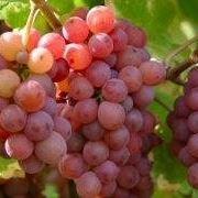vino bianco traminer