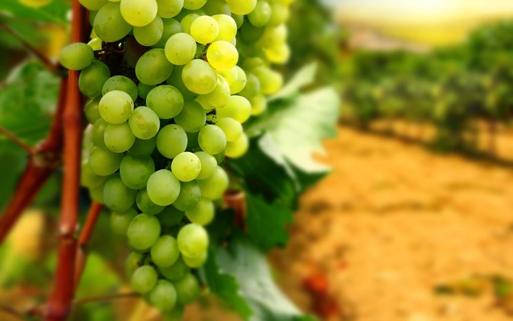 uve da vino