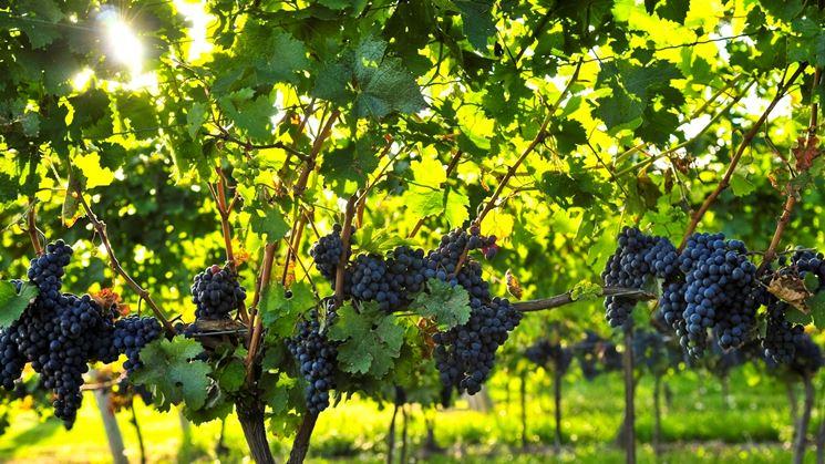prezzi uva da vino