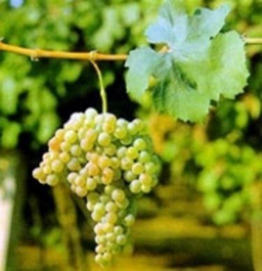 Vino bianco abruzzo