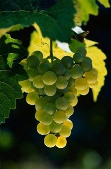 Vino bianco calabria