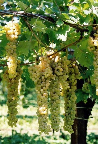 Vino bianco emiliano-romagnolo