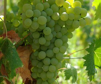 Vino bianco liguria