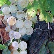 bellone vino
