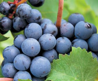 Vino rosso calabria