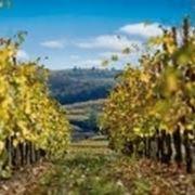 il vino oggi detto friulano