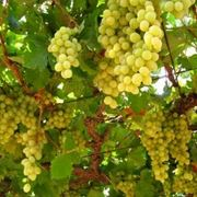 vitigno bianco