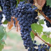 vitigno rosso